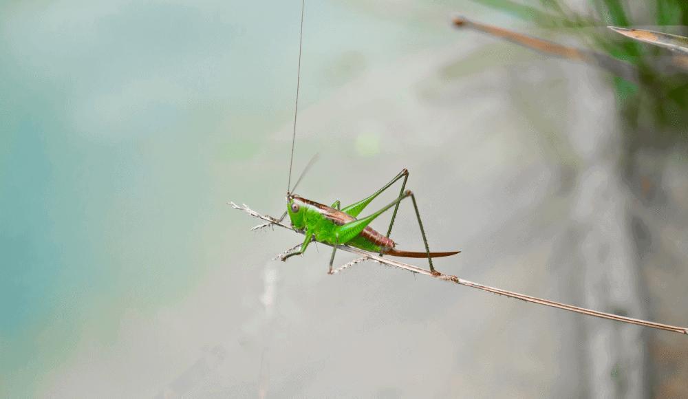A beautiful grasshopper